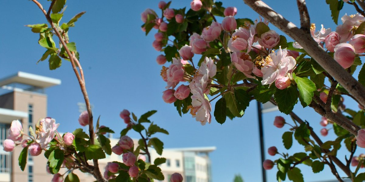 spring campus apple blossoms