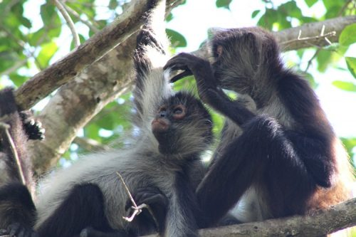 two spider monkeys in a tree in Mexico