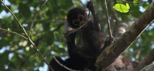 Baby Spider Monkey from Dr. Schaffner's research