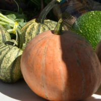 pumpkins and other squash