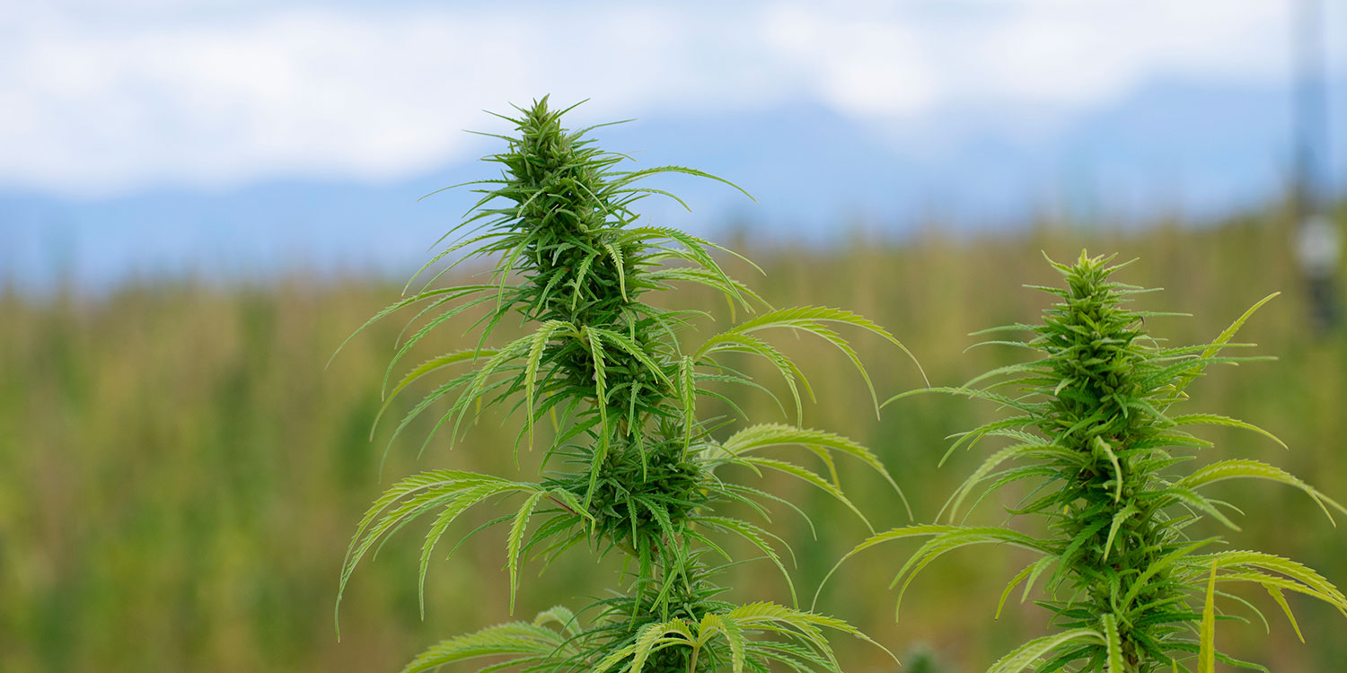 SLV Hemp Field